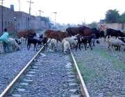 چنیوٹ: ریلوے لائن پر مال مویشی پھر رہے ہیں جو کس حادثے کا سبب بن سکتا ..