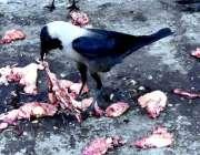 لاڑکانہ: کوے مردہ جانور کا گوشت کھا رہے ہیں۔
