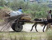 راولپنڈی: خانہ بدوش شخص گھر کا چولہا جلانے کے لیے خشک لکڑیاں گدھا ریڑھی ..