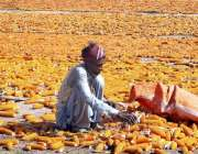 فیصل آباد: کستان چھلیاں خشک کرنے کے لیے دھوپ میں پھیلائے بیٹھا ہے۔