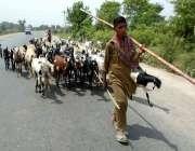 چنیوٹ: ایک چرواہا بھیڑ بکریاں چرانے کے لیے لیجا رہا ہے۔