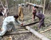 پشاور: کسان درخت کاٹنے میں مصروف ہیں۔