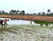 سرگودھا: کسان چاول کی فصل کاشت کر رہے ہیں۔