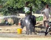 فیصل آباد: کسان بھینس کو نہلا رہا ہے۔