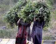 اسلام آباد: خانہ بدش خواتین جانوروں کا چارا اٹھائی اپنی منزل کی جانب ..