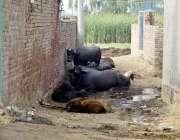 لاہور: نواحی گاؤں میں لوگوں نے بھینسیں باندھ کر گزرنے کا راستہ بند کر ..
