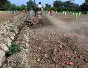 ملتان: کسان ٹریکٹر کی مدد سے کھیت سے آلو چن رہا ہے۔