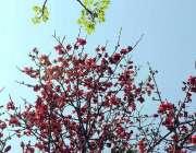 اسلام آباد: وفاقی دارالحکومت میں موسم بہار میں درختوں پر کھلے پھول ..