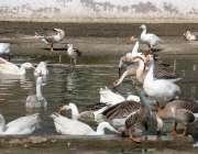 حیدر آباد: رانی باغ چڑیا گھر میں بطخی پانی سے لطف اندوز ہو رہی ہیں۔