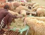 لاہور: عیدالاضحی کی آمد کے موقع پر مویشی منڈی لائے گئے قربانی کے جانور۔