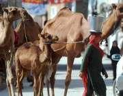 راولپنڈی: خانہ بدوش خاتون اونٹنی کا دودھ فروخت کرنے کے لیے جا رہی ہے۔