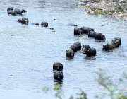 راولپنڈی: بھینسیں دھوپ اور گرمی کی شدت کے باعث نالہ لئی میں نہا رہی ..