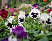 پشاور: موسم بہار کی آمد کے موقع پر کھلے پھول دلکش منظر پیش کر رہے ہیں۔