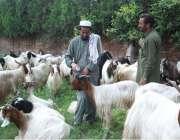 اسلام آباد: عیدالاضحی کی آمد کے موقع پر بیوپاری قربانی کے جانوروں پر ..