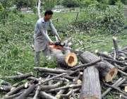 اسلام آباد: وفاقی دارالحکومت میں سی ڈی اے اہلکار لکڑی کاٹ رہا ہے۔
