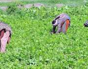ملتان: کسان خواتین کھیت سے پالک چن رہی ہیں۔