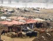 لاہور: دریائے راوی کے خشک حصے پر گوالوں نے قبضہ کر کے جانور باندھ رکھے ..