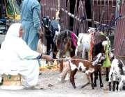 لاہور: مغلپورہ میں ایک بزرگ خاتون اپنی بکریاں چرا رہی ہے۔