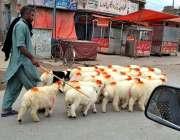سرگودھا:ایک چرواہا پھیری لگا کر بھیڑیں وغیرہ فروخت کر رہا ہے۔