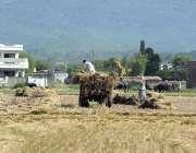اسلام آباد: کسان کھیت سے ہارویسٹر کے ذریعے کٹائی کے بعد گندم چن رہے ..