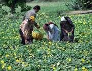 ملتان:کسان فیملی کھیت سے سبزی چن رہی ہے ۔