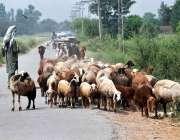 پشاور: چرواہا بھیر بکریوں کا ریوڑ چرانے کے لیے لیجا رہا ہے۔