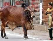 حیدر آباد:عیدالاضحی کی آمد کے موقع پر ایک خاتون قربانی کا جانور لیجا ..