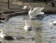 فیصل آباد: بطخیں کینال پارک کے تالاب میں تیر رہی ہیں۔