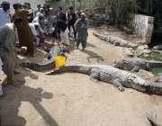 کراچی: منگھو پیر میں8سال کے بعد میلے کے آغاز پر شہری مگر مچھ کو مٹھائی ..