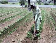 فیصل آباد: کسان کھیت سے جڑی بوٹیاں کاٹنے میں مصروف ہے۔