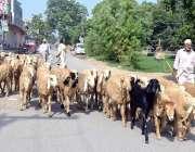 لاہور: عید الاضحی کی آمد کے موقع پر بیوپاری قربانی کے جانور فروخت کے ..