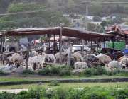 اسلام آباد: مقامی پارکیٹ میں بکرے فروخت کے لیے سٹال لگائے گئے ہیں۔