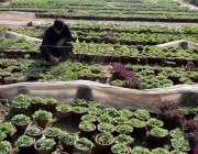 راولپنڈی: پی ایچ اے اہلکار مری روڈ پر لگائے جانے والے پودوں کی صفائی ..