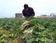 ملتان: کسان کھیت سے مولیاں چن رہا ہے۔