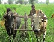 فیصل آباد: کسان بیلوں کی مدد سے کھیت جڑی بوٹیاں کاٹ رہا ہے۔