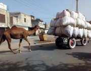 بہاولپور: اونٹوں کو بھاری سامان کھینچنے کے لیے استعمال کیا جار ہا ہے۔