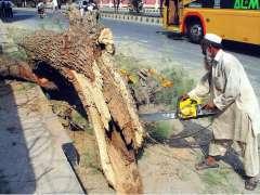 BAHAWALPUR: A farmer busy in cutting huge piece of tree with machine.