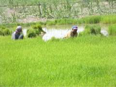 SIALKOT: Farmers are collecting rice plantlets at their farm field.