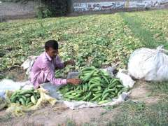 MULTAN: A farmer busy in collecting vegetable from his farm field.