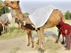 ISLAMABAD: A lady milking camel to sell milk in Federal Capital.
