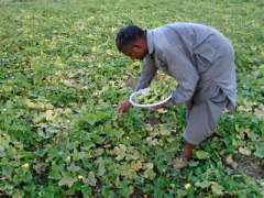 CHINIOT:  A farmer is gathering ripened vegetable from the fields.