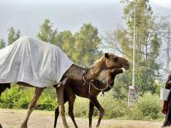 ISLAMABAD: A lady on the way along with camel while selling camel milk in Federal Capital.