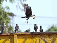 ISLAMABAD: Crows picking food from garbage container in Federal Capital.