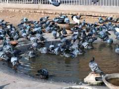 MULTAN: A flock of pigeons bathing in water pond to get relief from scorching hot weather.