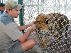 PESHAWAR: A trainer look after the tiger at Peshawar Zoo.