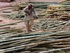 SARGODHA: A worker busy in cutting bamboos at his workplace.