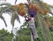 ملتان: کسان کھجور کے درخت سے تازہ کھجوریں توڑ رہاہے۔