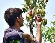 پشاور: کسان باغ سے لیچی توڑ رہا ہے۔
