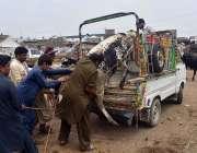 پشاور: شہری مویشی منڈی سے قربانی کے لیے خریدی گئی گائے سوزوکی پک کے ..