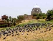 ملتان: شاہ رکن عالم دربار کے باہر کبوتروں کا جھنڈ دانا دنکا چگ رہا ہے۔